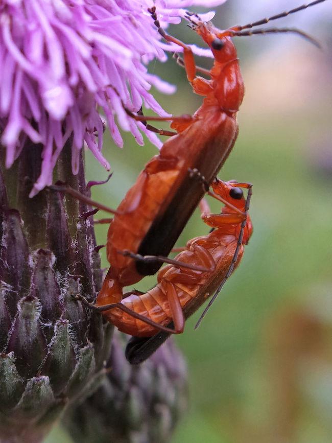 Rhagonycha Fulva copulation - Serchio River Arthropoda Beauty In Nature Close-up Coleoptera Copulating Copulation Hexapoda Insect Insecta Nature Outdoors Rhagonycha Fulva
