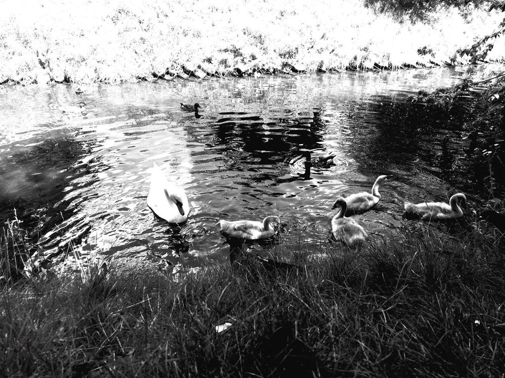 Bird Duck Animals In The Wild Animal Themes Water Lake Swimming Wildlife Togetherness Water Bird Nature Tranquility Medium Group Of Animals Lakeshore Zoology Non-urban Scene Day No People Animal Beauty In Nature First Eyeem Photo