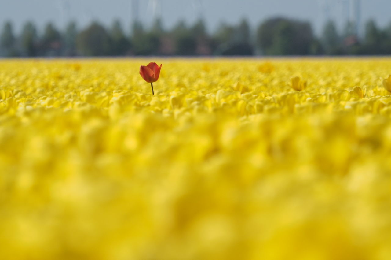 Tullips Yellow Flower Red Flower Landscape_Collection The Great Outdoors - 2016 EyeEm Awards The Great Outdoors With Adobe Creative Photography Colour Of Life