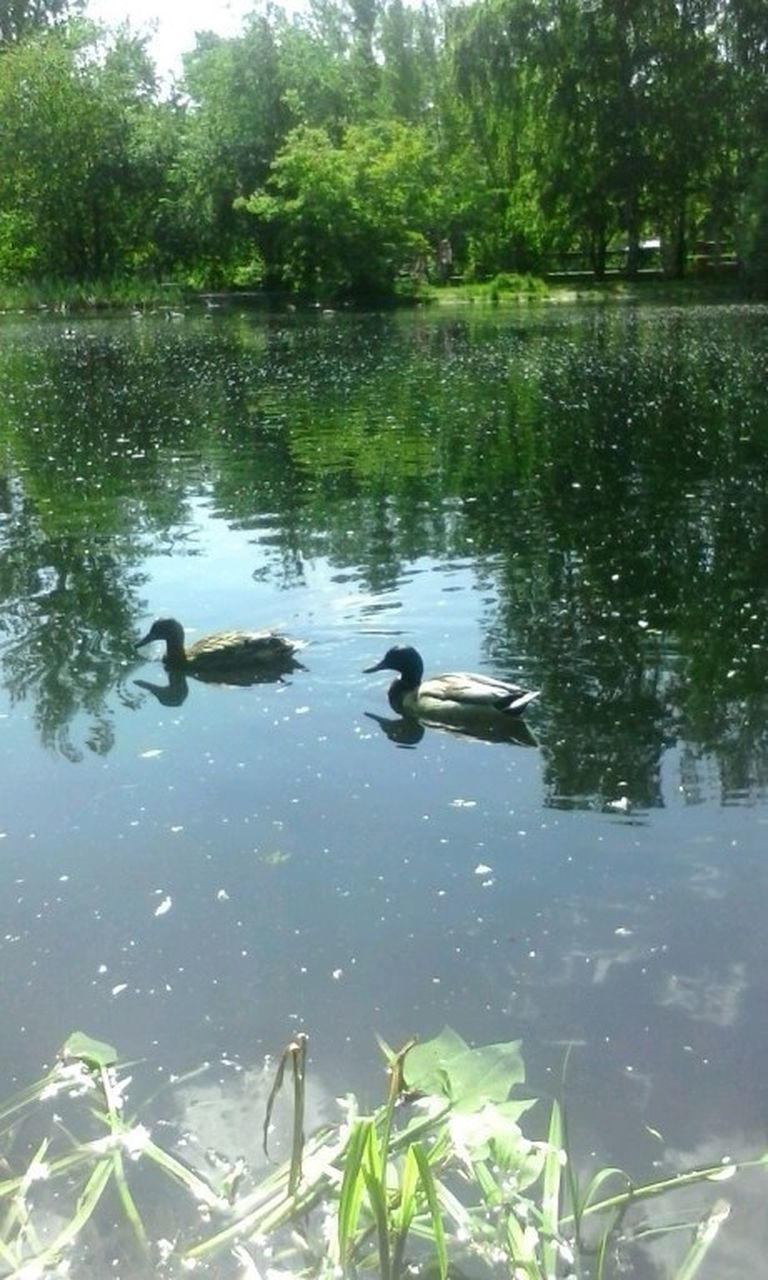 water, animals in the wild, reflection, animal themes, swimming, lake, nature, no people, animal wildlife, duck, bird, wildlife, day, outdoors, growth, waterfront, floating on water, water bird, green color, plant, tree, beauty in nature, swan
