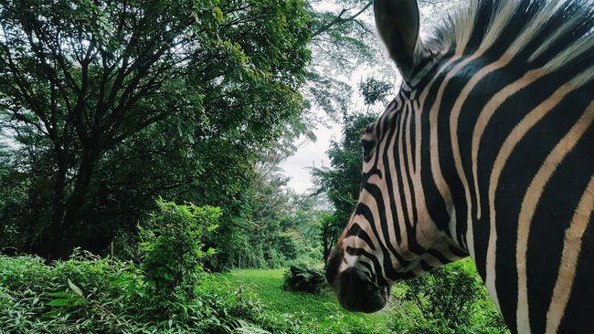 Showcase: February Nature Wildlife Zebra Mountain View Forest Stripes