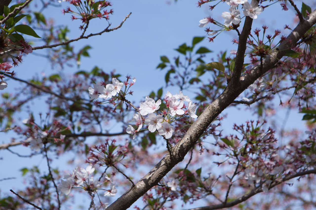 Beauty In Nature Blossom Botany Branch Close-up Day Flower Flower Head Fragility Freshness Growth Hanami Sakura  In Bloom Low Angle View Nature No People Outdoors Plum Blossom Sky Springtime Tree