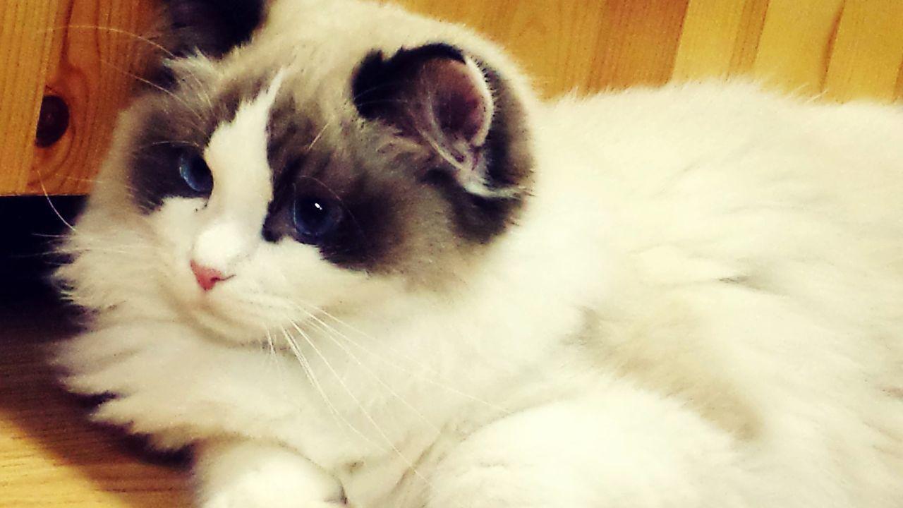 Baby 😸 Pets Domestic Cat Indoors  Lying Down Portrait Day Ragdoll Love Kitty Kitten BlueEyes Handsome Feline Mammal Close-up Babyboy