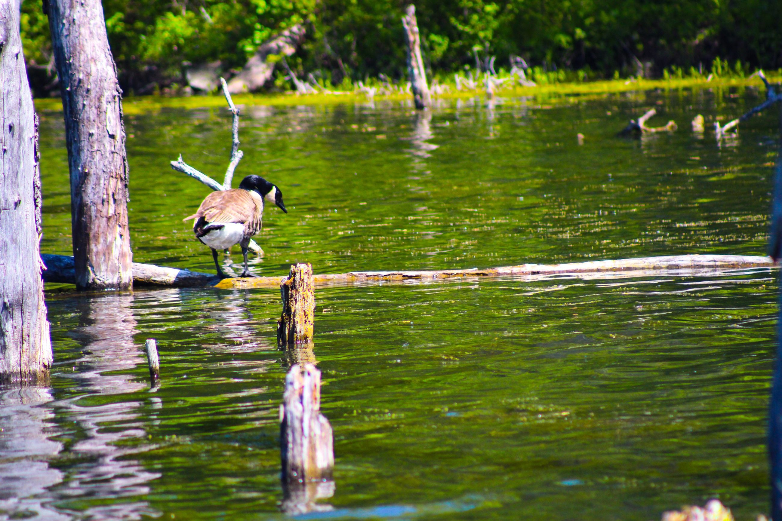 bird, animals in the wild, animal themes, water, animal wildlife, reflection, lake, one animal, nature, day, outdoors, water bird, no people, waterfront, tree, gray heron, grass, beauty in nature, spread wings