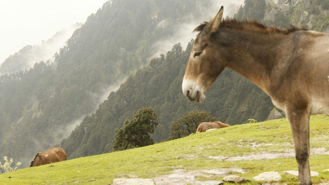 SastaFotu Animato Bharat Himalayas Horse Triyund