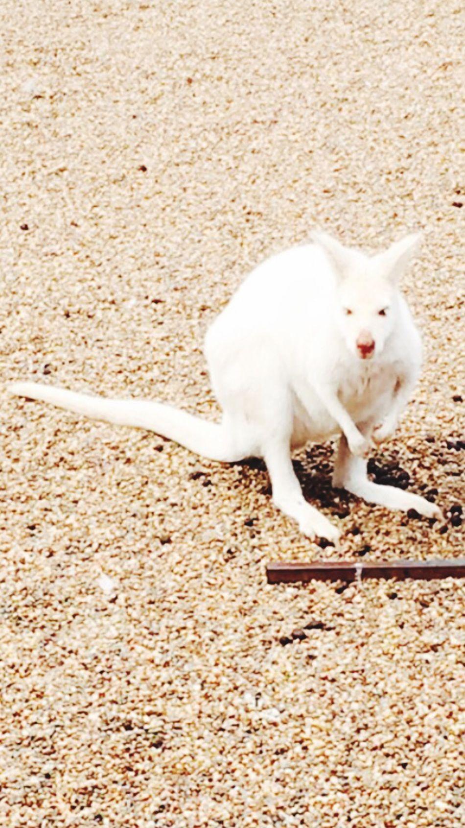 One Animal Animal Themes Pets Domestic Animals Mammal Dog Full Length Standing No People Day Outdoors Nature Jack Russell Terrier Kangaroo White Kangaroo Sand