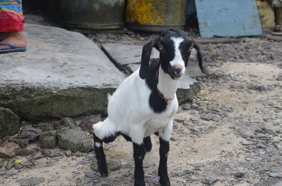 Andaman And Nicobar Islands Andamanislands Baby Goat Goat Havelockisland India Indien One Animal Ziege