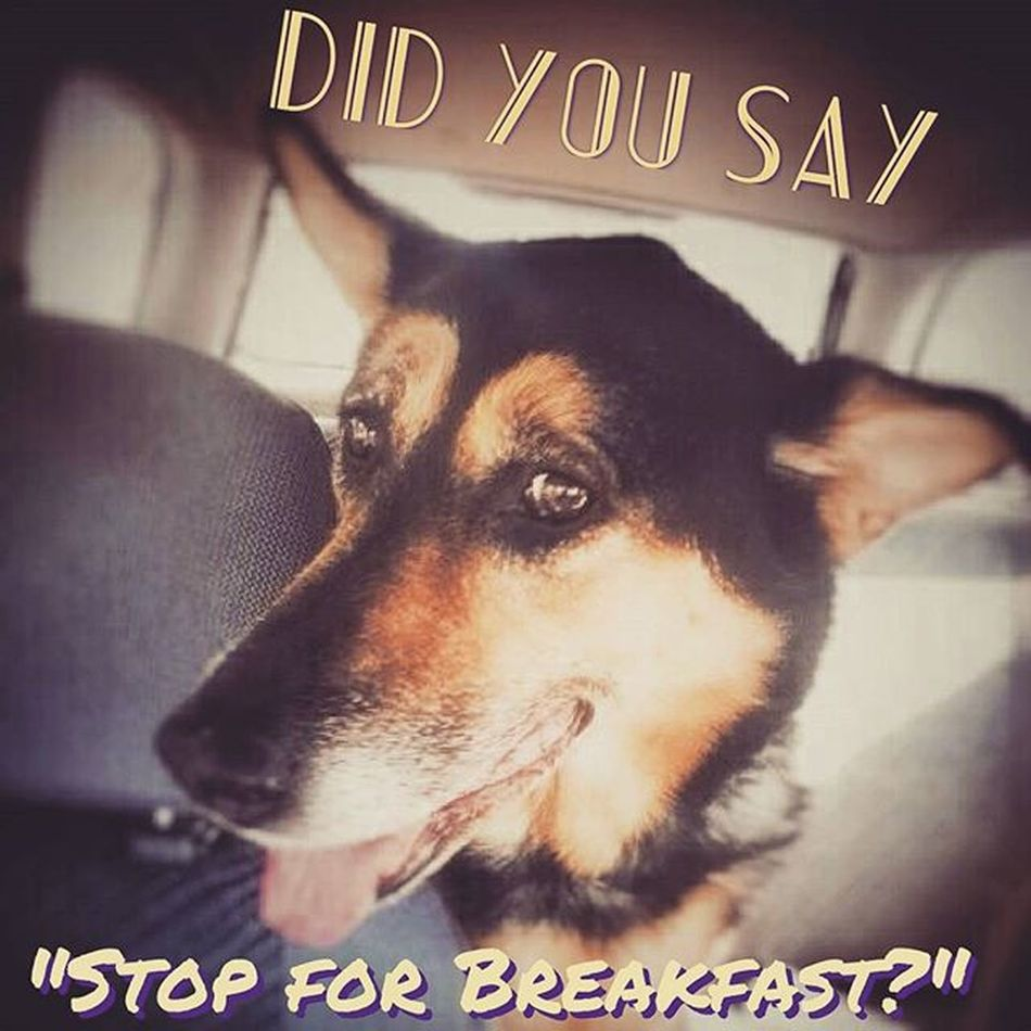 The face I got when I mentioned breakfast this morning 🍵🍳... Germanshepherd Germanshepherds Germanshepherdsonline Germanshepherdlove germanshepherdlovers germanshepherdlovers_ germanshepherdgirl germanshepherddog germanshepherdsdaily germanshepherddaily germanshepherdonline germanshephersofinstagram germanshepherdsofig gsd gsds gsdlove gsdobsessed gsdpost gsdofinstagram gsdsofinstagram instashepherd gsdofig ilovegsds lovegsds ilovemygsd gsdlover mygsd agirlandherdog girlsbestfriend LenaLou