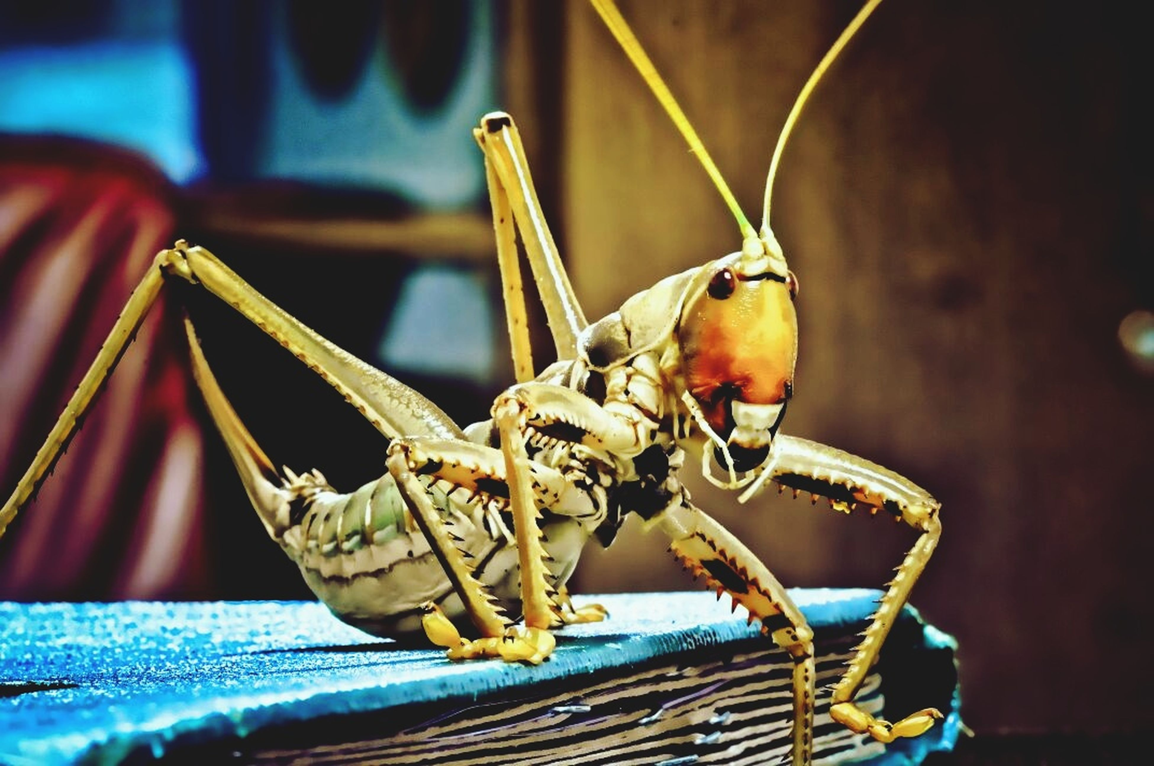 insect, animal themes, one animal, animals in the wild, close-up, no people, focus on foreground, animal wildlife, outdoors, grasshopper, day