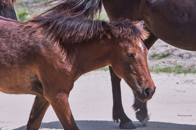 Animal Animal Themes Baby Horse Brown Day Domestic Animals Herbivorous Horse Mammal Wild Horses