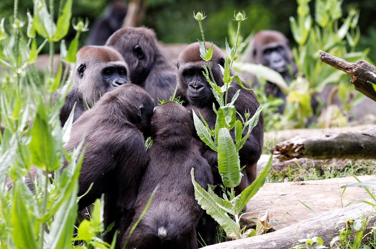 Beautiful stock photos of gorillas, Animal Family, Animal Themes, Animals In The Wild, Day