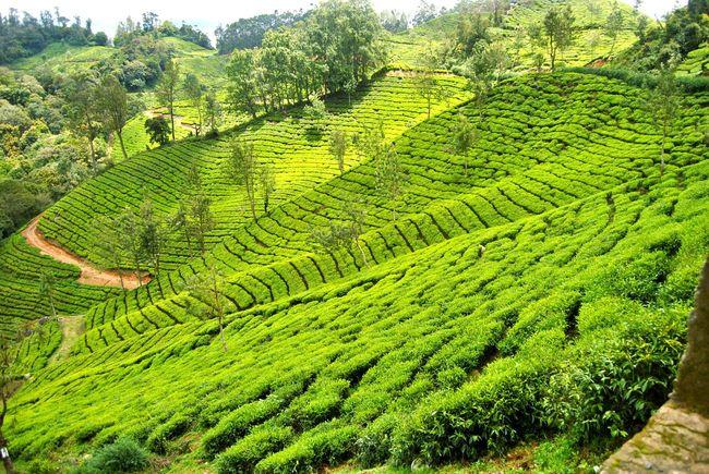 Tea Tea Time Munnar Kerala India Farm Farm Life Plants Green Nature_collection Showcase April DSLR Step Farming Lush Hillstation Eye4photography  The EyeEm Facebook Cover Challenge