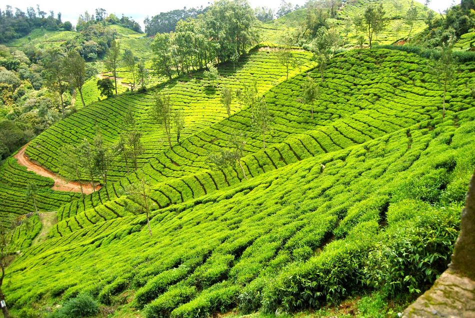 Tea Tea Time Munnar Kerala India Farm Farm Life Plants Green Nature_collection Showcase April DSLR Step Farming Lush Hillstation Eye4photography  The EyeEm Facebook Cover Challenge