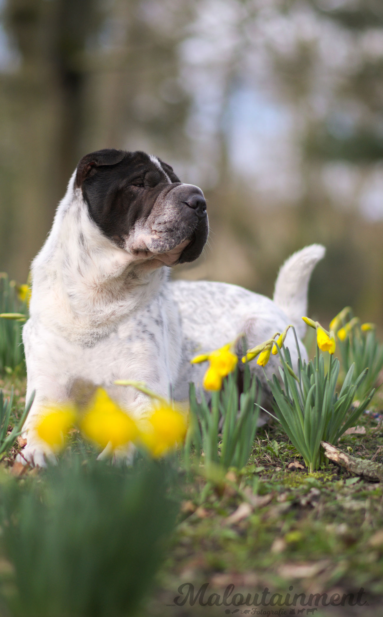 Spring Frühling Frühlingserwachen Frühlingsblümchen Celle One Animal Outdoors No People Dog Hund Hundefotografie Dog Photography Shar Pei Flowers Blumen Blümchen  Osterglocke Nature Natur
