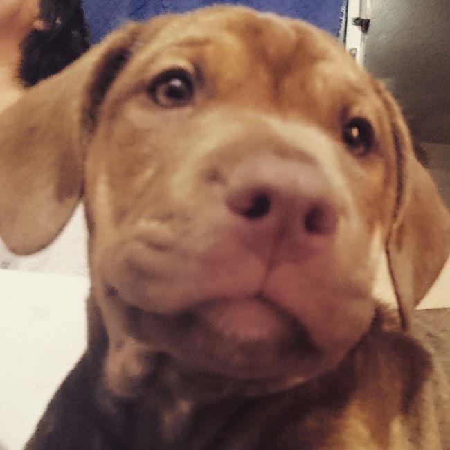 Cocoa BB Pitbull ahora somos 4... Cocoa molina jejejeje Amorresponsable