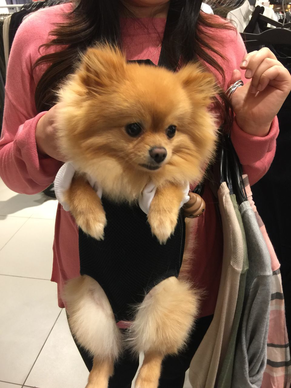 real people, dog, pets, mammal, domestic animals, one animal, one person, holding, leisure activity, human hand, pomeranian, lifestyles, women, human body part, indoors, close-up, day