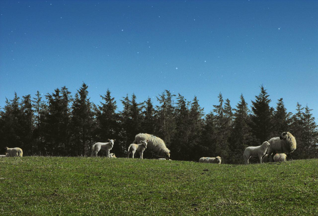 ... the life as we know it. .. Sheep Lambs Field Trees Edit Ovelhas Ovelles Ovelhinhas овечки барашки ягнята поле звезды Wales