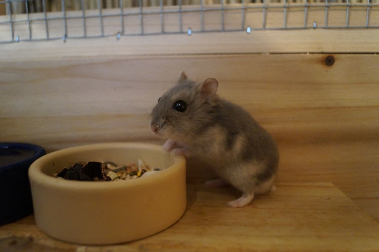 animal themes, one animal, eating, mammal, indoors, no people, close-up, nature, pets, food, day