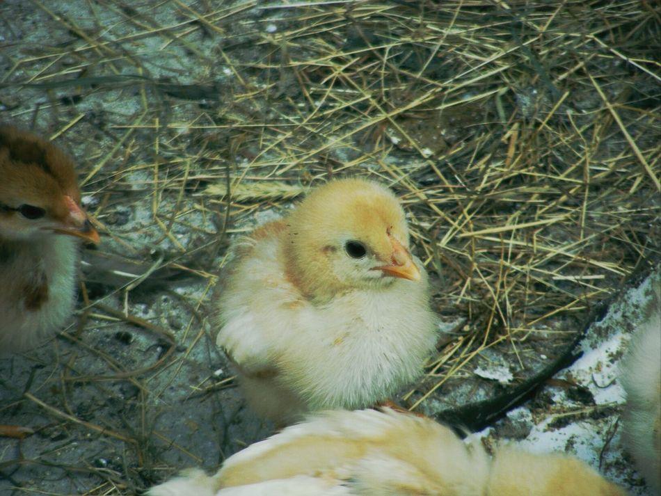 Little Chicken