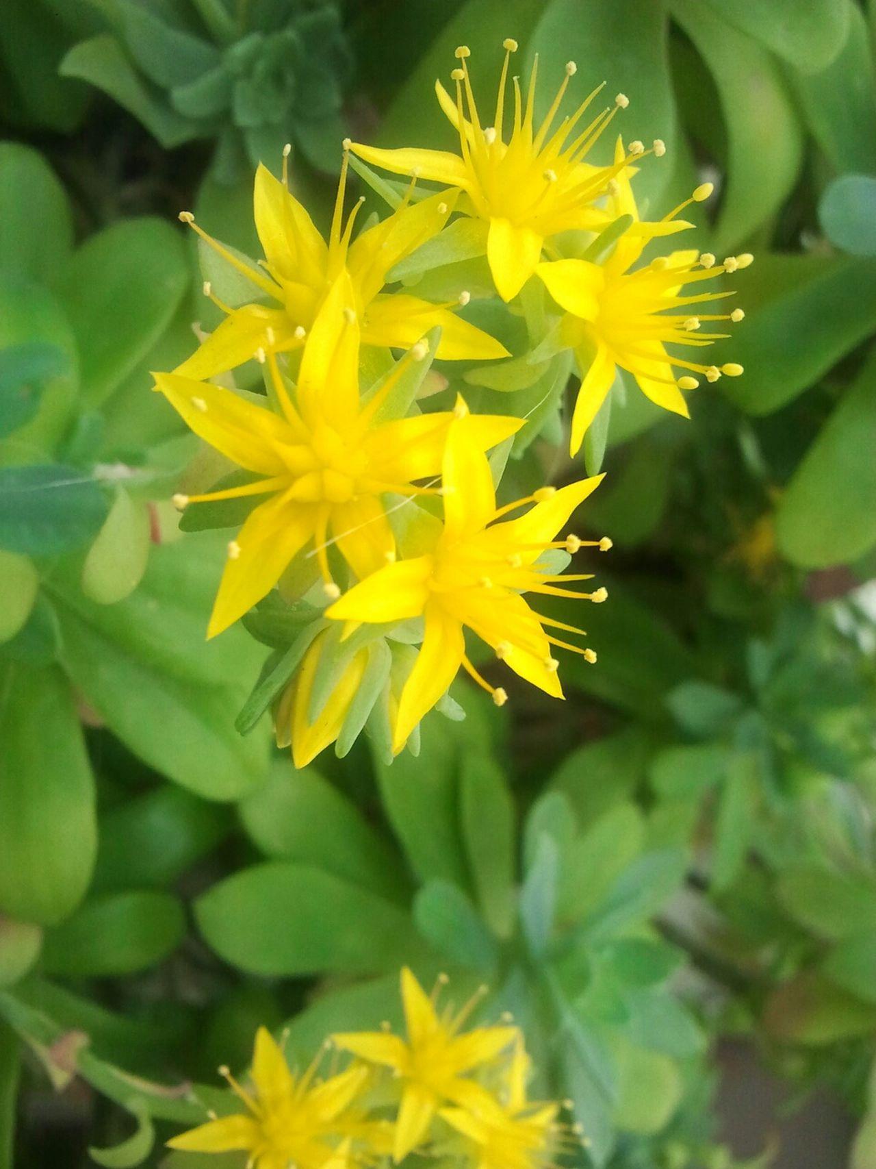 Flowers Yellow Yellow Flower Macro_flower Succulent Plant Balcony Garden Flowers,Plants & Garden Learn & Shoot: Simplicity