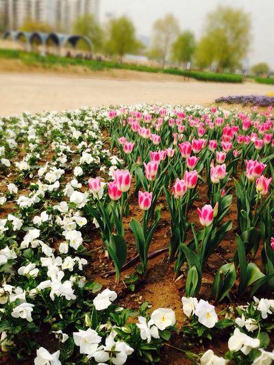 Park Flowers Flower 오랜만에 라이딩. 목동 공원에는 꽃이 예쁘게 피었더군요.