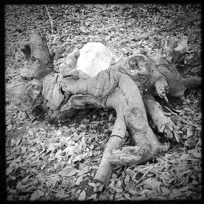 Skull shaped rock grown into Tree limb. #SanAntonio #COSA #Texas xxoo