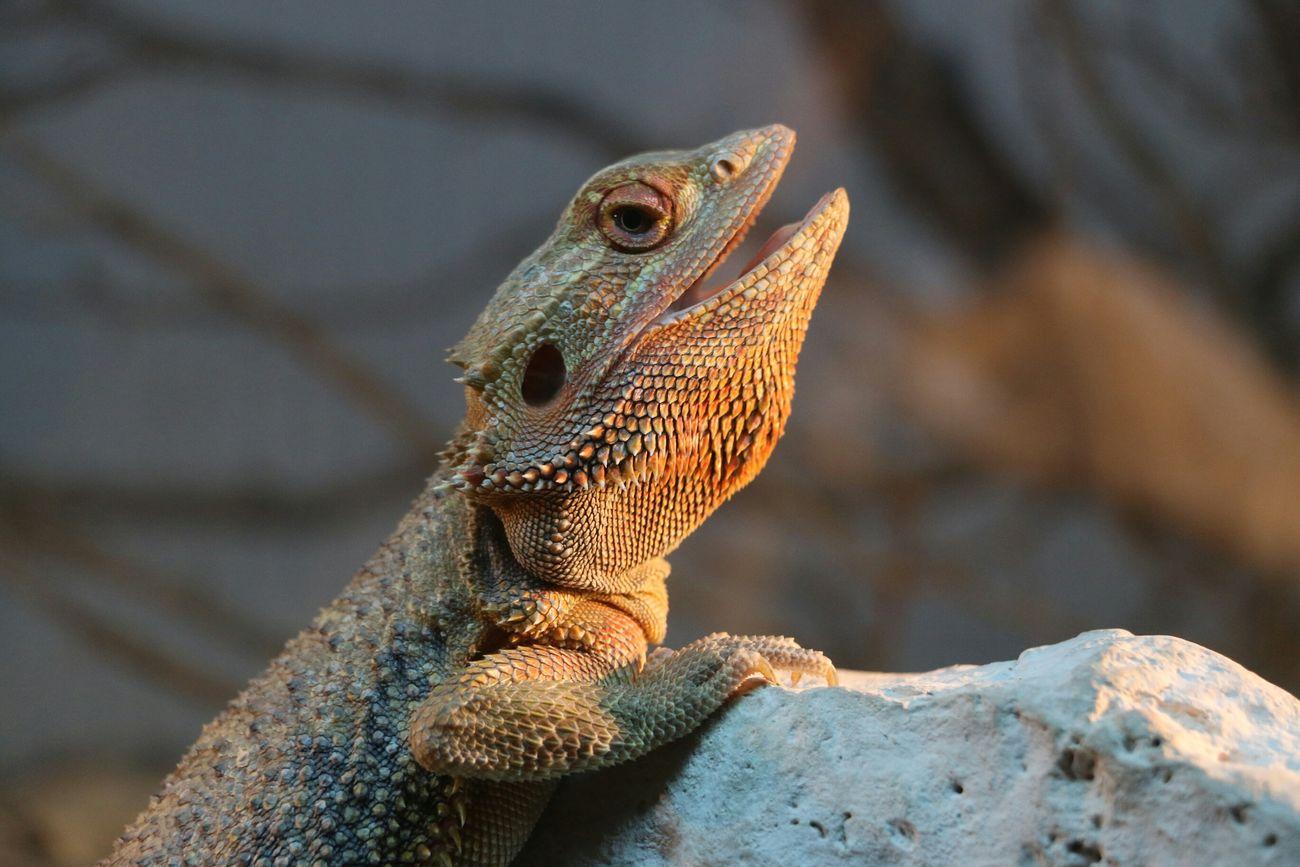 Beautiful stock photos of glücklich, Animal Themes, Animal Wildlife, Animals In The Wild, Bearded Dragon