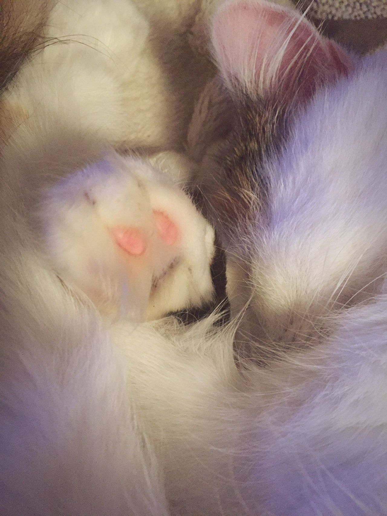 Always Be Cozy Domestic Cat Pets Relaxation Cat Indoors  Lying Down Fluffy White Animal Animal Themes Sleeping Curled Up