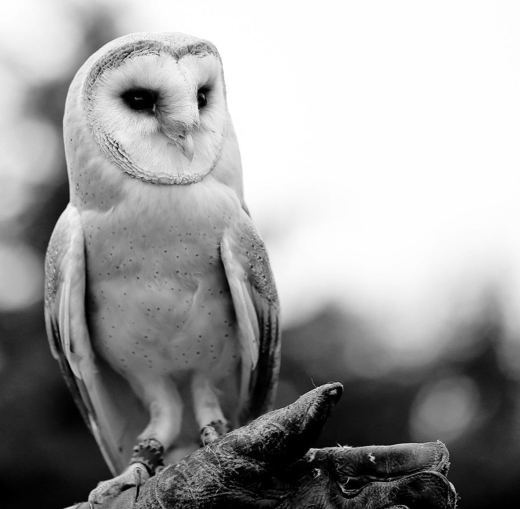 Beautiful Owl Black And White Blackandwhite Photography British Overseas Territory Close-up England Feathers Nature Outdoors Owl Selective Focus Soft Face Tawney