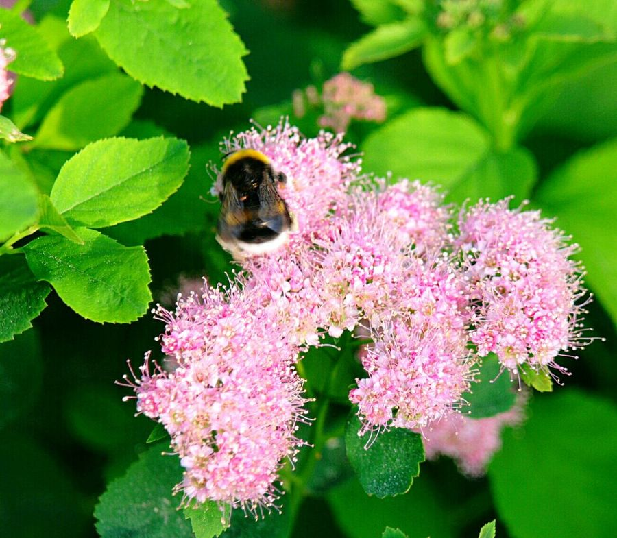 Flowers, Nature And Beauty Flowers And Bee Flowers In Bloom Flowers And Bees Bees Bees At Work Summer2016 Finland Summer Finland Early Summer Fresh And Beautiful Plants And Flowers Macro Nature Fresh Nature