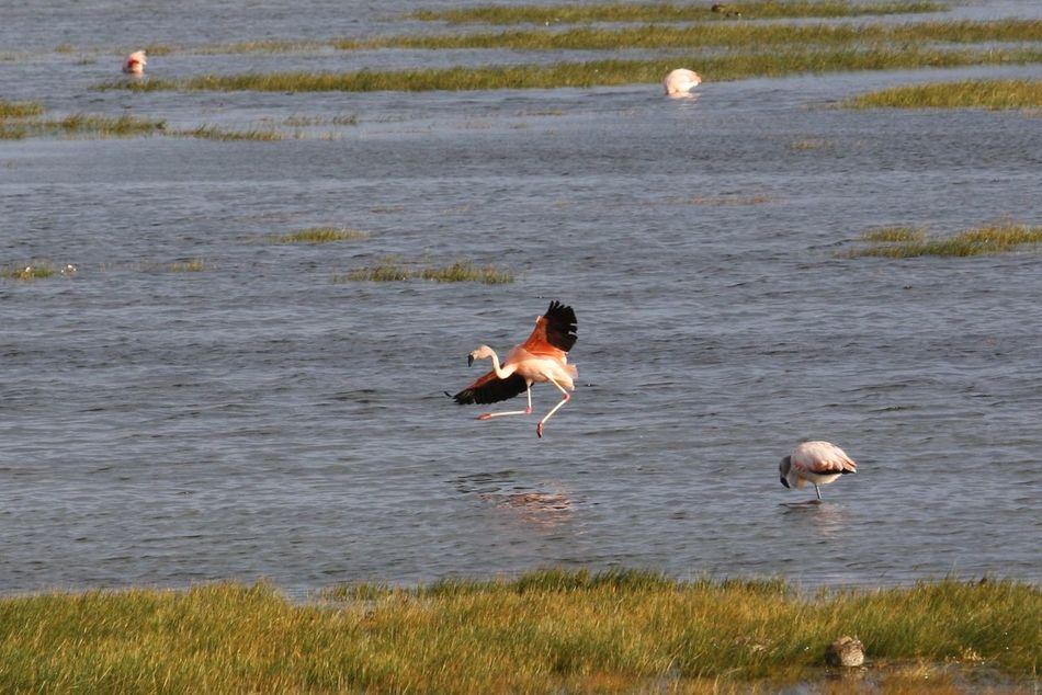 Beautiful stock photos of wings, Bird, Feathers, Flamingo, Flight