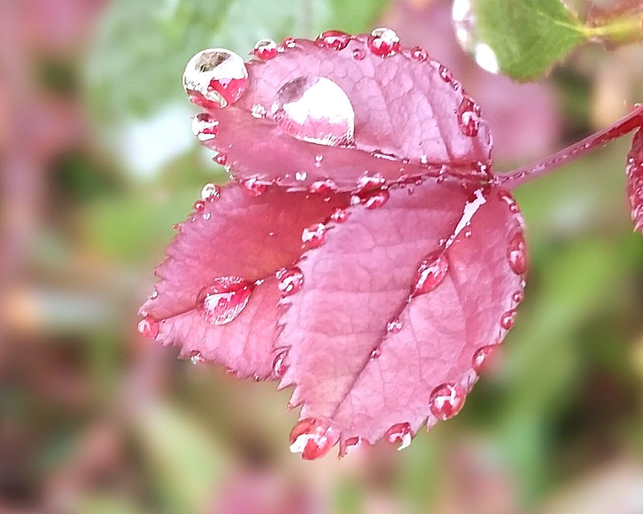 drop, water, nature, fragility, beauty in nature, wet, flower, petal, growth, freshness, close-up, focus on foreground, rose - flower, day, pink color, raindrop, no people, leaf, red, flower head, outdoors, blooming, periwinkle