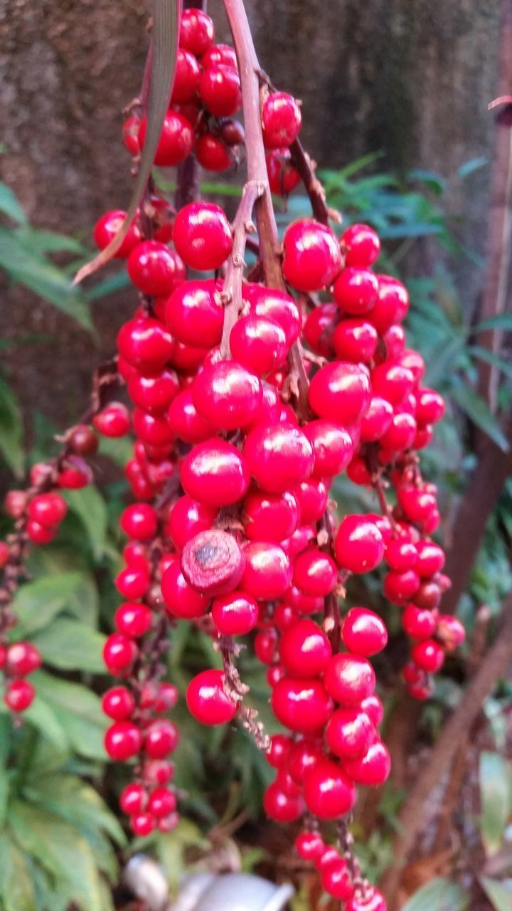 red, fruit, growth, food and drink, day, outdoors, focus on foreground, no people, tree, rowanberry, food, freshness, nature, close-up, beauty in nature