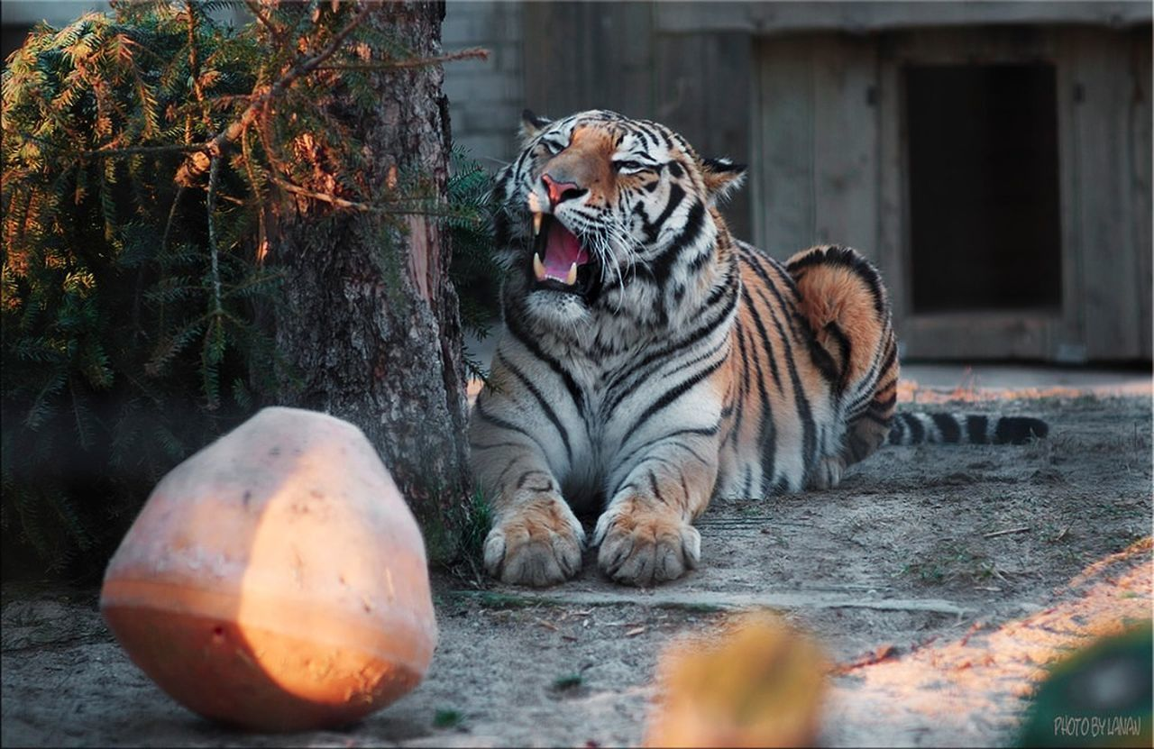 one animal, animal themes, animals in the wild, outdoors, mammal, tiger, animal wildlife, day, nature, feline, no people, tree