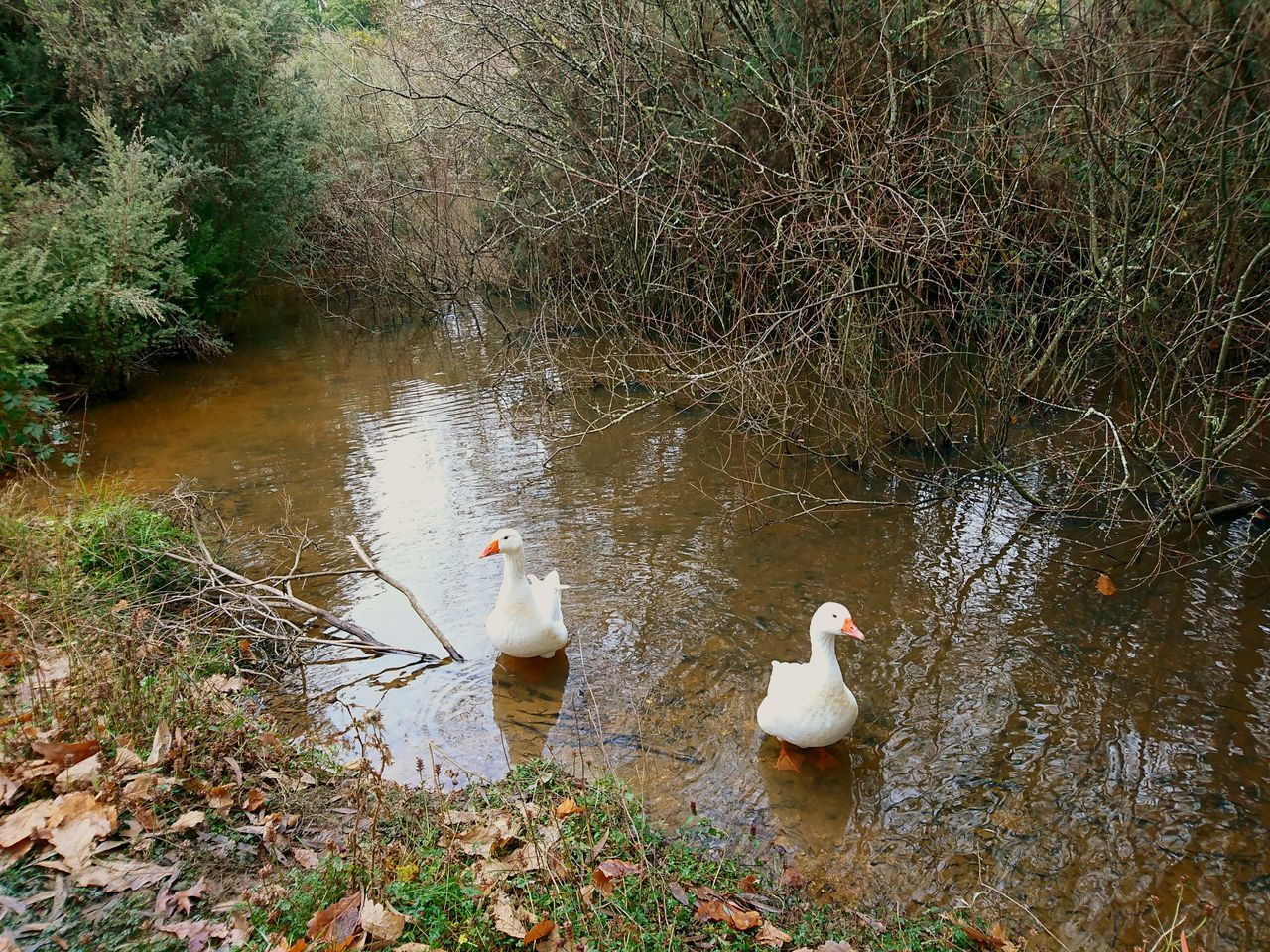 bird, animals in the wild, animal themes, water, nature, lake, no people, day, animal wildlife, outdoors, grass, swan, beauty in nature