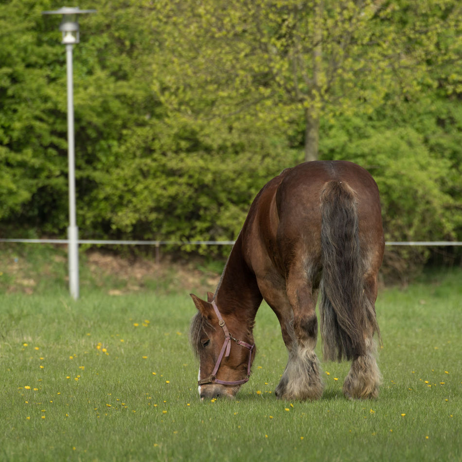 Horse (Ardenner) Animal Themes Animals Close-up Day Domestic Animals Field Grass Grazing Grazing Horse Green Color Growth Horse Mammal Nature No People One Animal Outdoors Spring Springtime Standing Working Animal