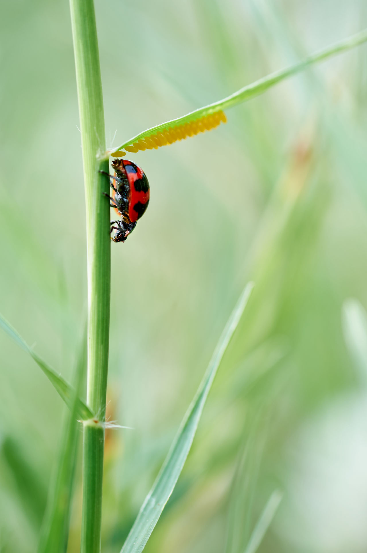 Animal Behavior Animal Themes Animal Wildlife Animals In The Wild Beauty In Nature Blade Of Grass Close-up Day Eggs Focus On Foreground Grass Green Color Growth Insect Ladybug Leaf Nature No People One Animal Outdoors Plant