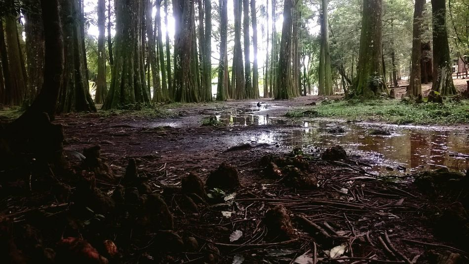 Tree Nature Forest Tranquility Outdoors Scenics Swamp Swamplands