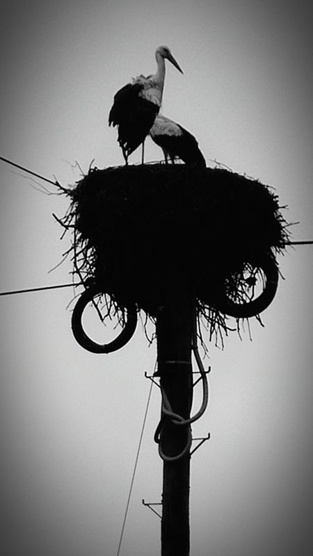 Storks Couple Storks Nest Shades Of Grey Blackandwhite Photography Simple Things In Life Naturelovers Summer Vibes On Top Of The World Old But Gold Old Look  Portugal EyeEm Nature Lovers EyeEm Best Shots EyeEm Best Shots - Black + White EyeEm Best Shots - Nature Cruziper Photography