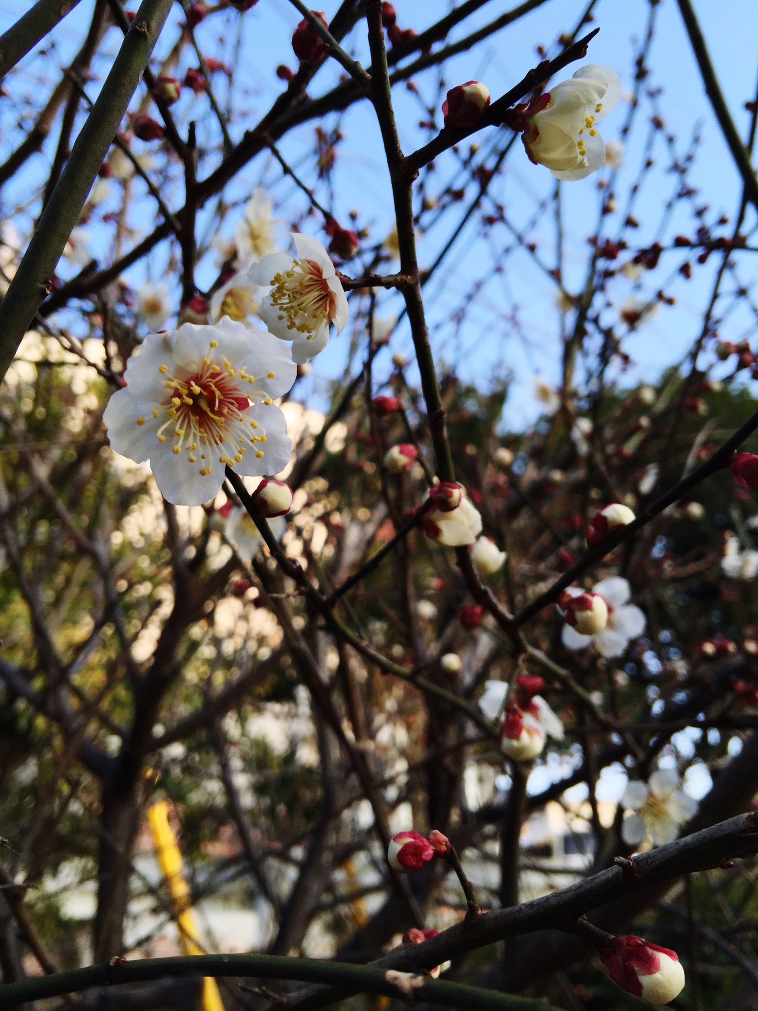 flower, freshness, branch, growth, fragility, tree, beauty in nature, low angle view, nature, focus on foreground, close-up, blossom, petal, blooming, in bloom, twig, cherry tree, springtime, flower head, cherry blossom