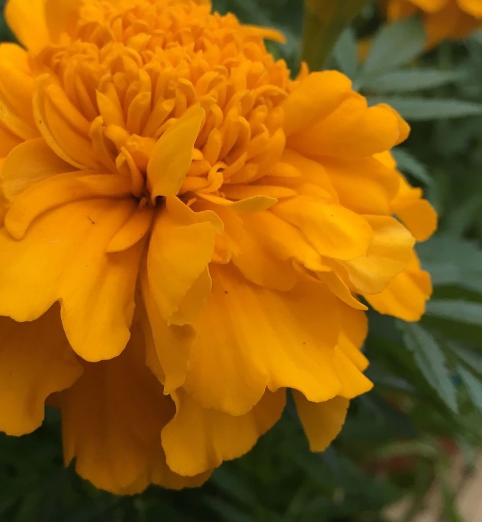 Marigolds... August 2016 Summer 2013 Marigolds Yellow Flowers Flower Collection Flowerporn Flowerphotography Flowers, Nature And Beauty Flowers,Plants & Garden Flower Photography Flowerlovers