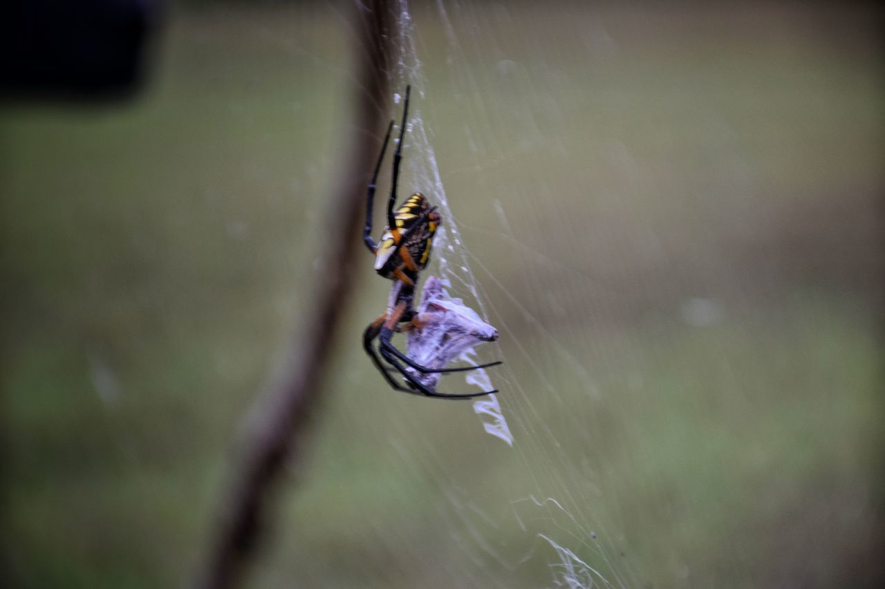 dinner time Argiope Argiope Argiopelove Itsy Bitsy Spider Argiopelove CharlottesWeb EyeEm Best Shots Godsartwork EyeEm Best Shots - Nature Happigramma Thesmallestlittlethings Eyeem This Week Nikonphotography Eatsleepdreamphotography Iseeinpictures Everythingisbeautiful CountryLivingMagazine Myperspective Spinning Gettyimages Godsartisbest Nikonphotographer Spider Web Beauty In Nature Summertimesplendor