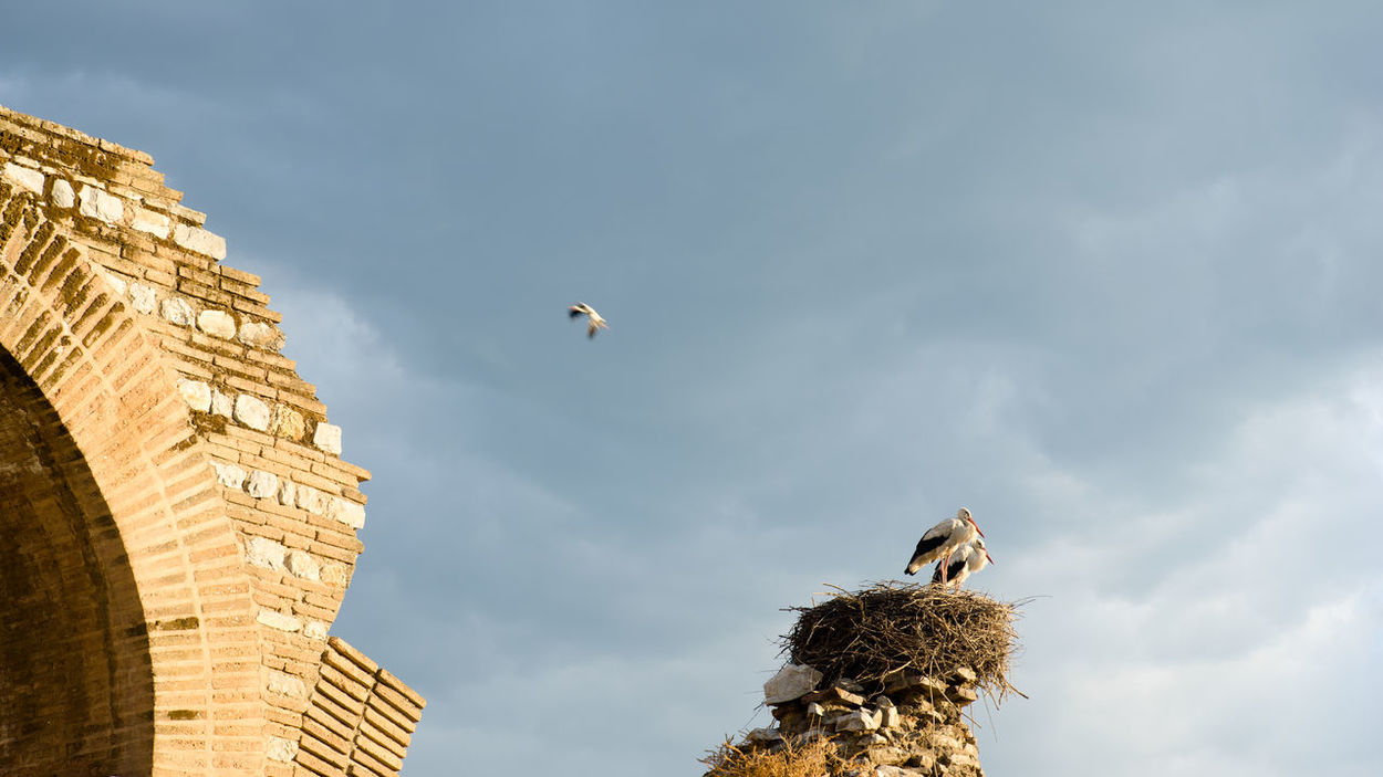 In nest on the ruin of Roman aqueduct at Selcuk, Turkey, two storks are facing sunrise and one is flying around. Animal Aqueduct Bird Clouds Flying Greeting Grey Morning Nature Nest Resting Roman Ruin Sky Storks Sunlight Sunrise Three