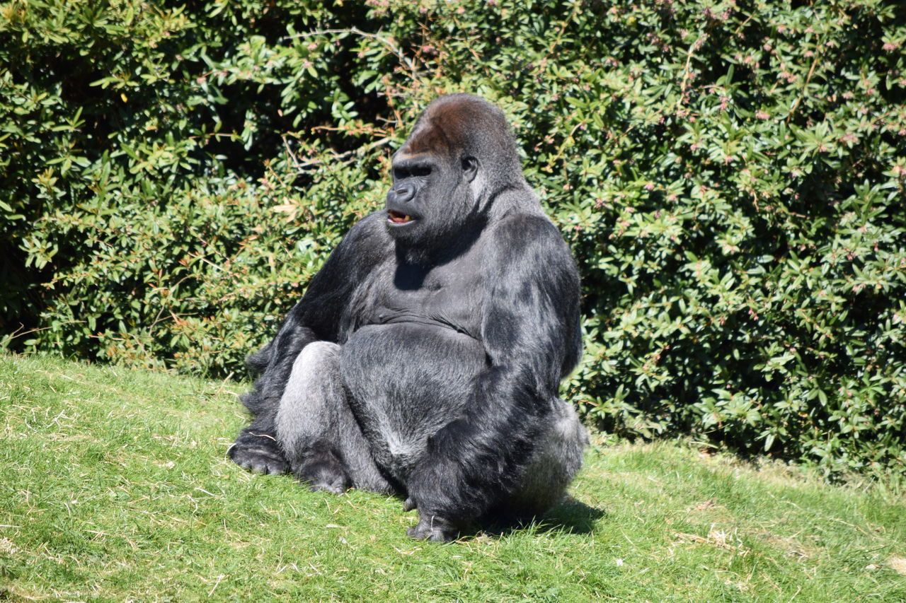 gorilla Animal Themes Animals In The Wild Ape Beauval Chimpanzee Day Female Gorilla Gorille Grass Green Green Color Male Mammal Monkey Nature No People One Animal Outdoors Plant Power Primate Strong Tree Zoo