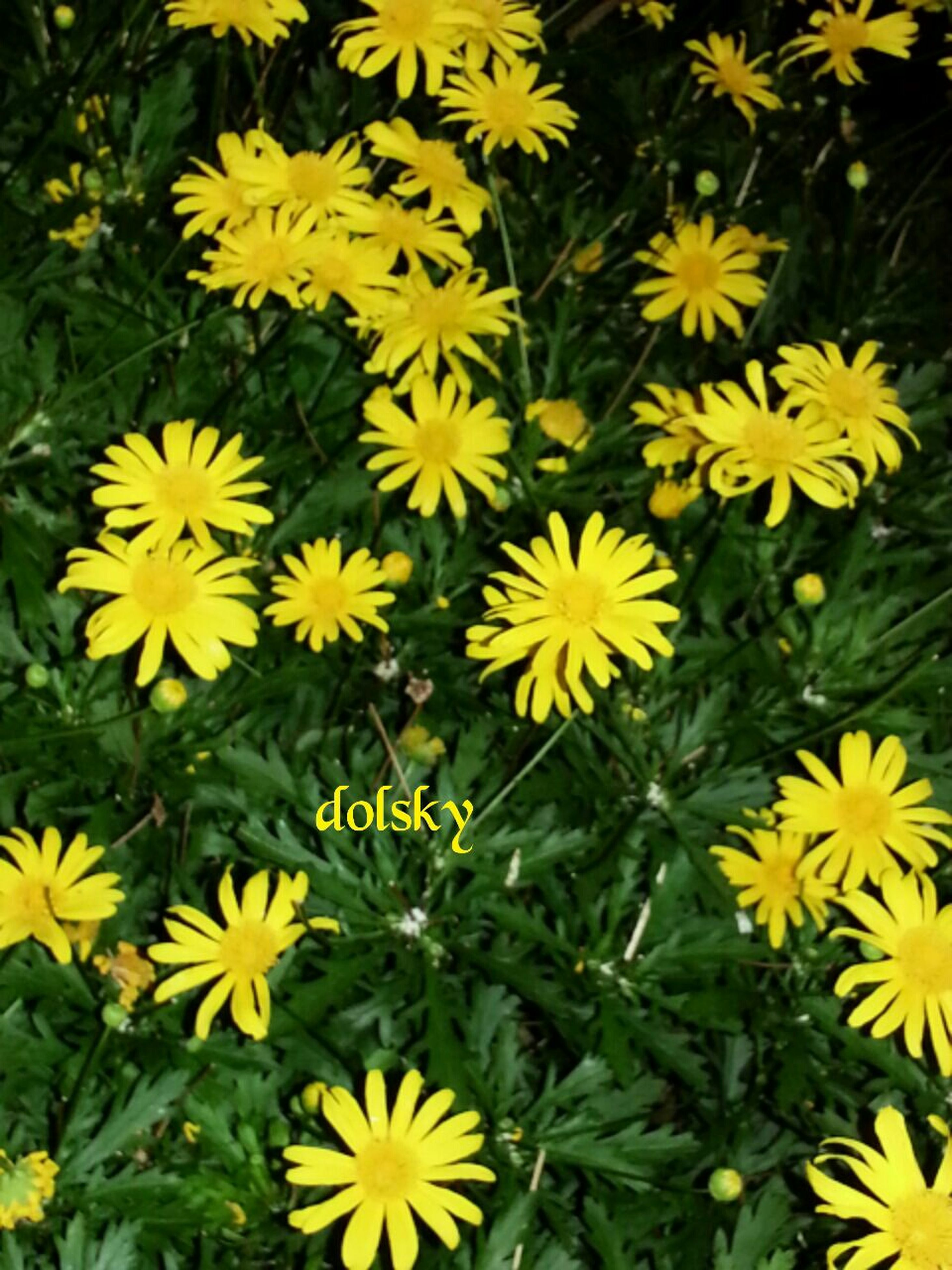 flower, yellow, freshness, petal, fragility, growth, flower head, beauty in nature, blooming, plant, nature, field, high angle view, in bloom, green color, daisy, close-up, outdoors, leaf, day