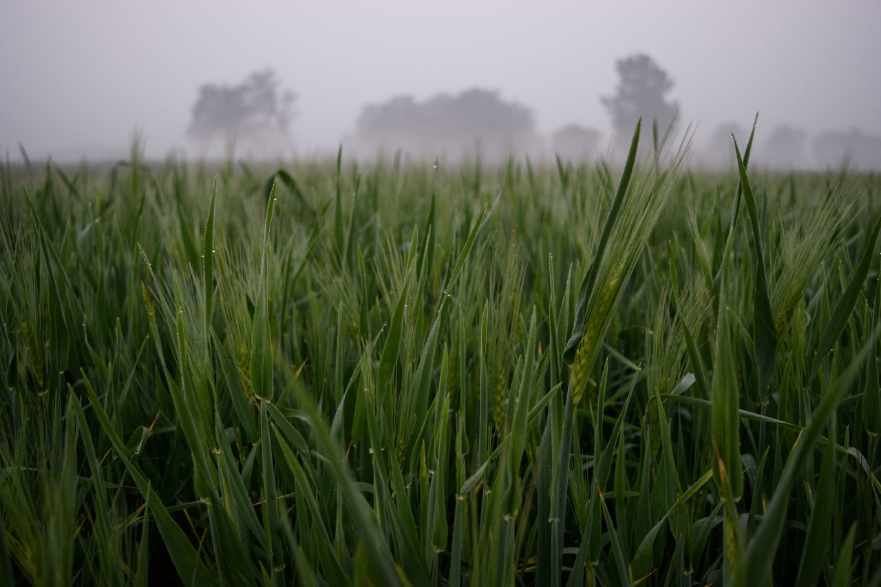 wheat farm Agriculture Beauty In Nature Day Field Growth Landscape Nature Naturelovers Outdoors Plant Wheat Wheat Farming Wheat Field Leaf Dew Drops On Leaf Dew Drops Dew Morning Dew Morning Light