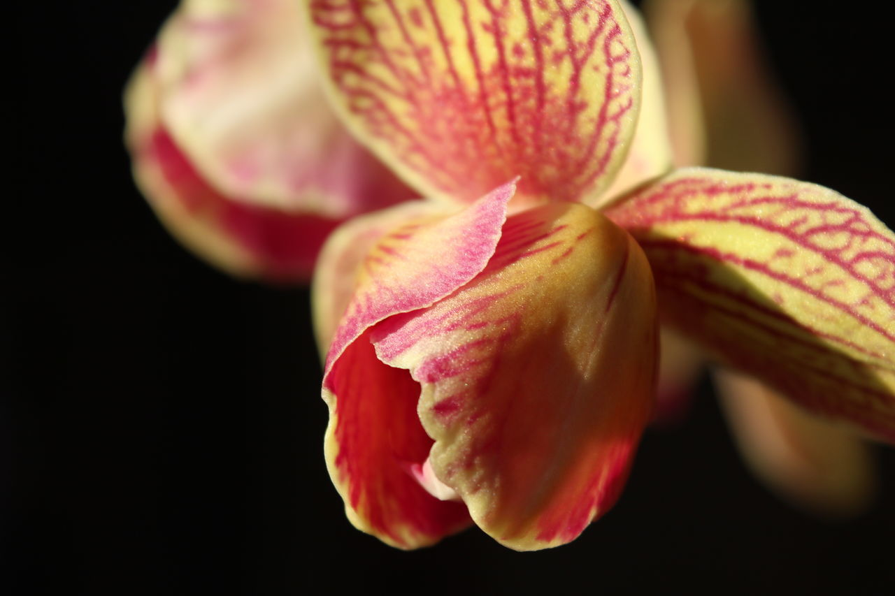 Beautiful stock photos of orchid, Beauty In Nature, Black Background, Close-Up, Flower