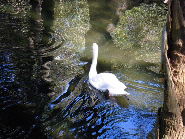 Swan Water Ripples Swimming Swim Green White