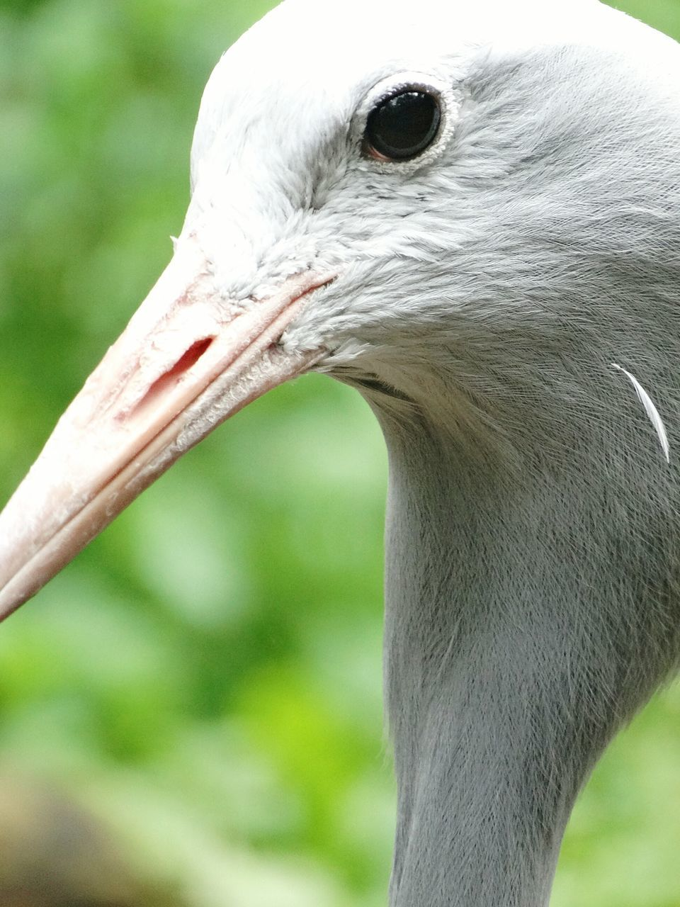 beak, bird, one animal, animal themes, animals in the wild, focus on foreground, animal head, animal wildlife, close-up, day, nature, no people, outdoors, pelican, crane - bird