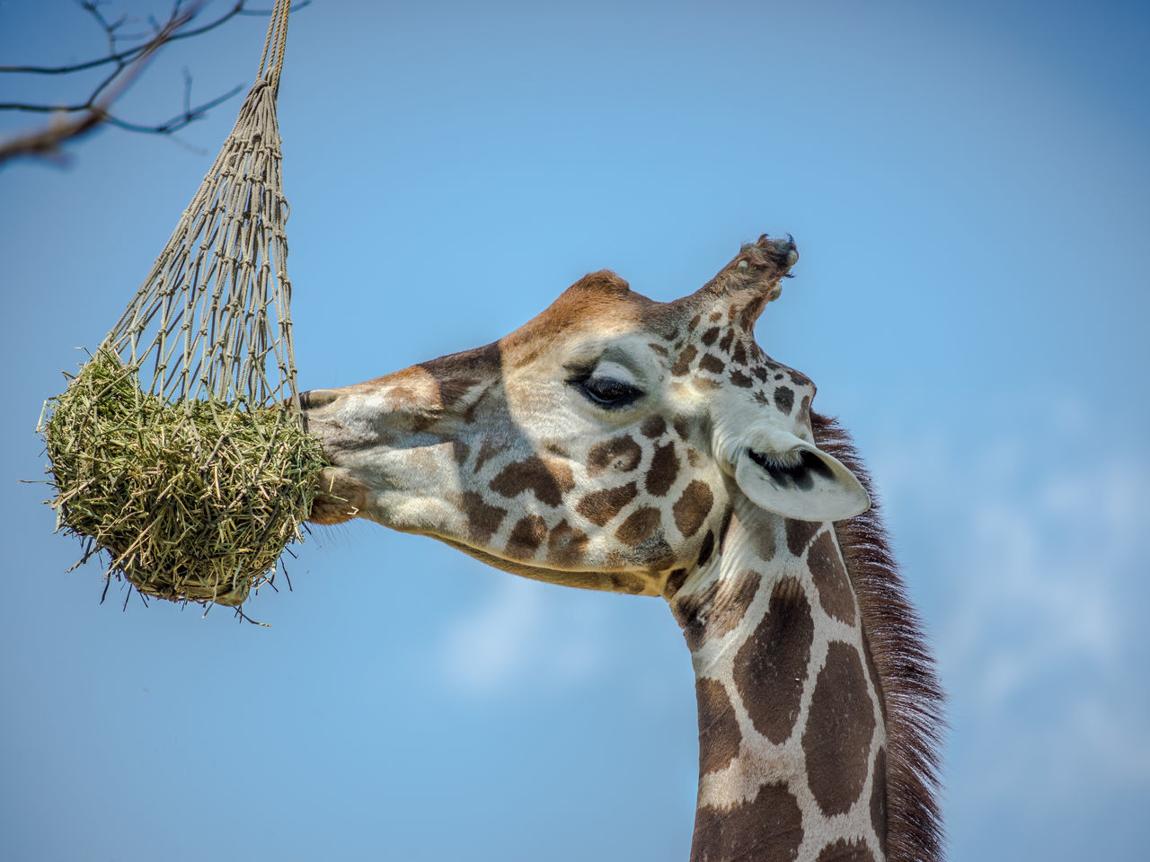 Low Angle View Of Giraffe Eating From Net At Zoo Against Sky